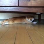 愛犬ミロちゃんのストレッチ