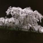 福島県から桜便り…♡
