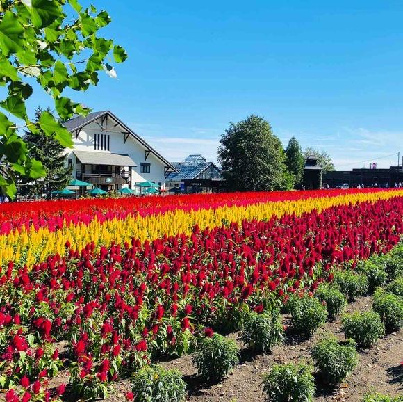富良野の大地をドライブ!ラベンダー農園「ファーム富田」で花満喫