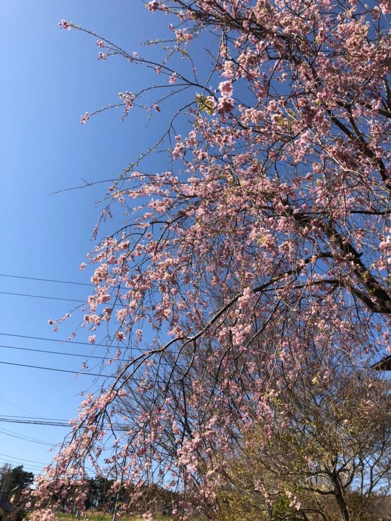 桜とピンク